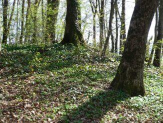 arbres monumentaux
